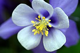 Anggrek Biru